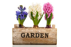 Pink, blue and white hyacinth in wooden crate stock photography