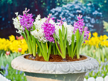Pink, blue and white hyacinths Royalty Free Stock Images