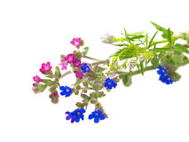 Pink and blue wild flowers Stock Photo
