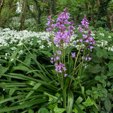 Pink Bluebells Flowering in Cardiff Royalty Free Stock Photography