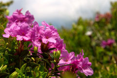 Pink border landscape. Rose bay (Rhododendron) border landscape Royalty Free Stock Photos