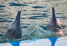 Pink bottle neck dolphins Royalty Free Stock Photography