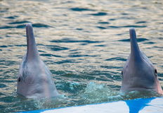 Pink bottle neck dolphins Stock Photo