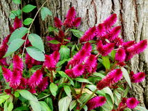 Pink Bottlebrush Flowers. Dark pink magenta bottlebrush plant flowering in the autumn near a tree stock photo