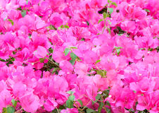 Pink bougainvillaea Royalty Free Stock Images