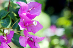 Pink Bougainvillaea Closeup. In daylight royalty free stock images