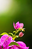 Pink Bougainvillaea flower Royalty Free Stock Photography