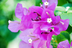Pink Bougainvillaea. On green back ground Stock Photography
