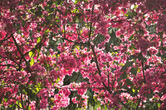 Pink Bougainvillea Royalty Free Stock Photos