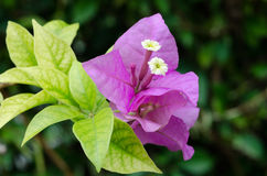 Pink bougainvillea Stock Photography