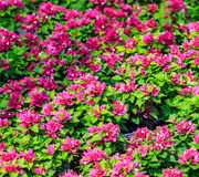 Pink bougainvillea. Bougainvillea is a thorny ornamental vine, bushes, and tree Royalty Free Stock Photos