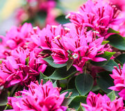 Pink bougainvillea Royalty Free Stock Photo