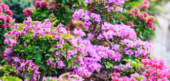 Pink bougainvillea Stock Photos