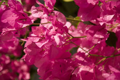 Pink bougainvillea background Stock Photo