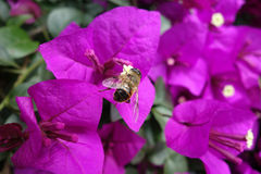 Pink bougainvillea with bee Royalty Free Stock Images