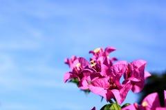 Pink  bougainvillea blooming Stock Image