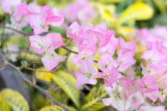 Pink bougainvillea blooms Royalty Free Stock Photography