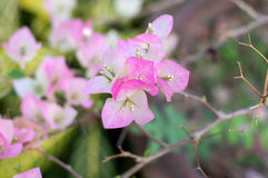 Pink bougainvillea blooms Royalty Free Stock Photo