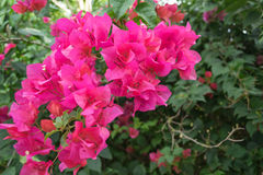 Pink bougainvillea blooms in the garden. The beautiful Pink bougainvillea blooms in the garden Stock Images