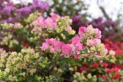Pink bougainvillea blossom Stock Photos