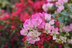 Pink bougainvillea blossom Stock Photo
