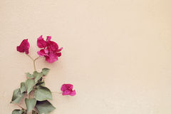 Pink Bougainvillea Blossoms Stock Photos