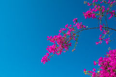 Pink bougainvillea on blue sky background Stock Photos