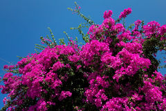 Pink Bougainvillea and Blue Sky Royalty Free Stock Photos