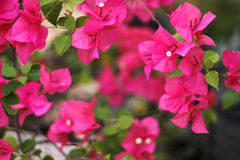 Pink bougainvillea. On blurry background Royalty Free Stock Images