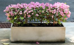 Pink Bougainvillea in A Cement Flower Pot Stock Photography
