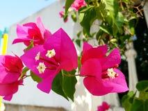 Pink bougainvillea closeup Stock Photography