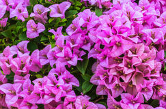 Pink Bougainvillea, Closeup. Pink Bougainvillea in the Garden, Closeup Stock Images