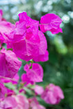 Pink bougainvillea closeup Stock Photo