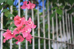 Pink Bougainvillea. A cluster of pink bougainvillea hangs right outside a fence Stock Photo