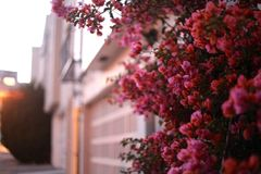Pink bougainvillea covering a San Francisco garage. Flowering plant visible from sidewalk adds bright pop of color to the streets of San Francisco Royalty Free Stock Photo
