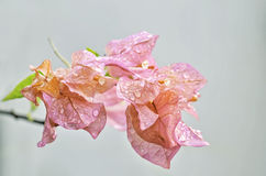 Pink Bougainvillea Stock Image