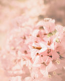 Pink bougainvillea flower background Stock Images