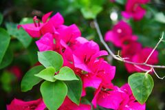 Pink bougainvillea flower beautiful blossoming in the garden park stock images