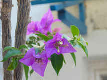 pink bougainvillea flower Royalty Free Stock Image