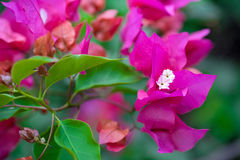 Pink bougainvillea flower Royalty Free Stock Images