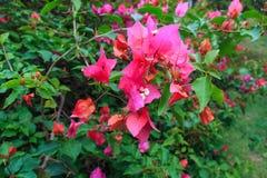 Pink bougainvillea flower Stock Photos