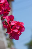 Pink bougainvillea flower Stock Photography