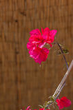 Pink bougainvillea flower Stock Images