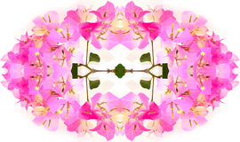 Pink bougainvillea flower close up on white background Royalty Free Stock Images