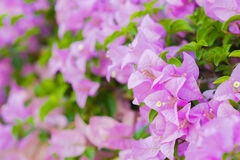 Pink bougainvillea flower front focus. On the background blur Royalty Free Stock Photography