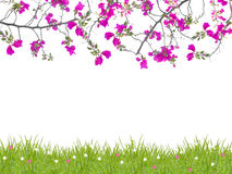 Pink Bougainvillea flower and green grass Royalty Free Stock Images