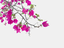 Pink Bougainvillea flower Stock Image