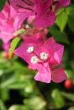 Pink bougainvillea flower in nature garden. Beautiful pink bougainvillea flower in nature garden Royalty Free Stock Photography