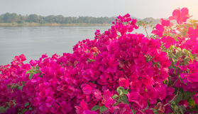Pink Bougainvillea. Flower near river Stock Images