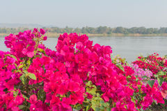 Pink Bougainvillea. Flower near river Royalty Free Stock Image